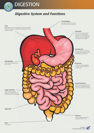 Digestive System and Functions