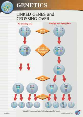 Linked Genes and Crossing Over