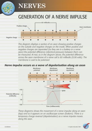 Generation of a Nerve Impulse